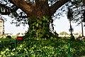 Very big tree with plants around it.jpg