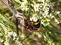 Vespa crabro fighting with praying Mantis over a small bee (32895127892).jpg