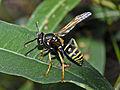 Vespidae - Polistes biglumis bimaculatus.jpg