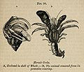 Vestiges 11 fig 90 Hermit crabs.jpg