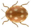 Vibidia duodecimguttata (PODA, 1761).png