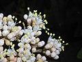 Viburnum rhytidophyllum 2016-05-17 0802b.jpg