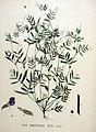 Vicia angustifolia — Flora Batava — Volume v20.jpg