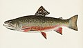 Vintage illustrations by Denton from Game Birds and Fishes of North America digitally enhanced by rawpixel 18.jpg