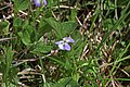 Viola adunca 2802 - Flickr - Andrey Zharkikh.jpg