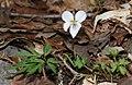 Viola eizanensis s2.jpg
