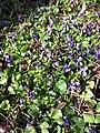 Viola odorata sl24.jpg
