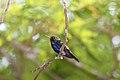 Violet-bellied Hummingbird (Damophila julie panamensis) (4512697172).jpg