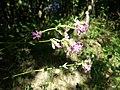 Viscaria vulgaris sl10.jpg