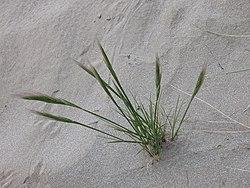 Vulpia fasciculata plant (03).jpg