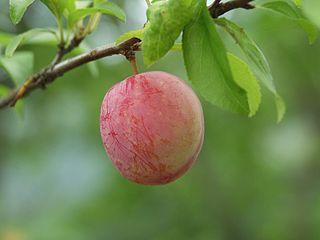 <i>Prunus salicina</i> species of plant