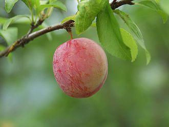 Prunus salicina - Image: W sumomo 4061
