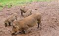 Warthogs (4300851726).jpg