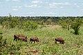Warthogs (6785946736).jpg