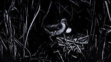 small water bird with eggs