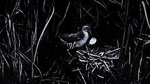 petit oiseau d'eau avec des oeufs