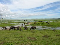 Water buffaloes Sri Lanka grazing.jpg