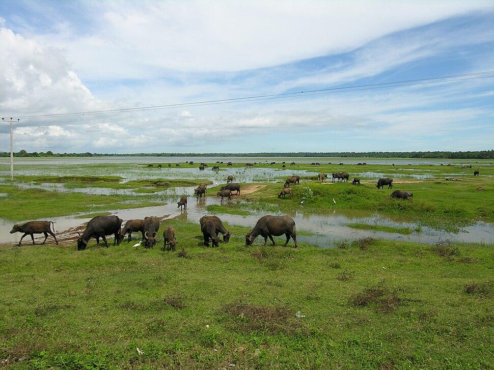 Water buffaloes Sri Lanka grazing