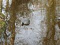 Waterhoen - Dr. Jac. P. Thijssepark - Amstelveen (5558823614).jpg