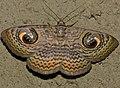 Wavy Owl Moth (Calliodes pretiosissima) (12933178624).jpg