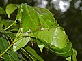 Weaver Ants (Oecophylla smaragdina) nest (15063511714).jpg