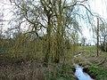 Weeping Willow Wakening - geograph.org.uk - 155555.jpg