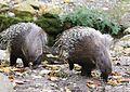 Weissschwanzstachelschwein Hystrix indica Tierpark Hellabrunn-3.jpg