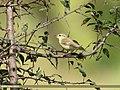 Western Crowned Warbler (Phylloscopus occipitalis) (36283960513).jpg
