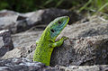 Western green lizard Germany Limberg 1.jpg