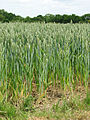 Wheat - geograph.org.uk - 1342522.jpg