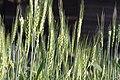 Wheat field in Tianmu - panoramio.jpg