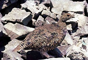 White-tailed ptarmigan - Full summer plumage