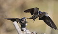 White-throated Swallow, Hirundo albigularis at Marievale Nature Reserve, Gauteng, South Africa. Sequence of two juveniles being fed on the fly by their parents. (15631494105).jpg
