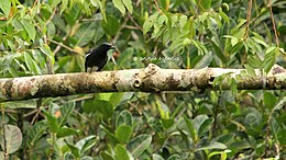 White-winged Cuckooshrike.jpg