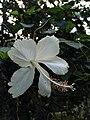 White Hibiscus Rosa.jpg
