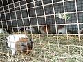 White colour rats5.JPG