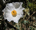 White poppy Argemone munita close.jpg