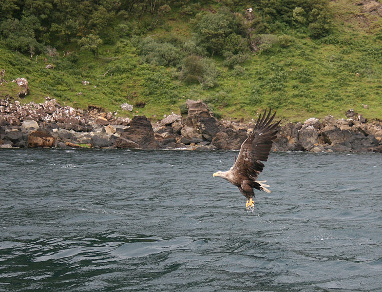 sea eagle off skye