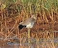 White tailed lapwing 8.jpg