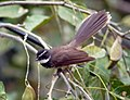 White throated fantail.JPG