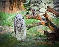 White tiger Mysore zoo.jpg
