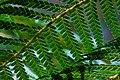 Wielangta Dicksonia antarctica leaves 3.jpg