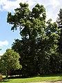 Wien-Penzing - Naturdenkmal 426 - Sommerlinde (Tilia platyphyllos).jpg