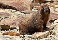 Wikimedia - 07172017 geneva creek marmot Forest Rd 119.jpg