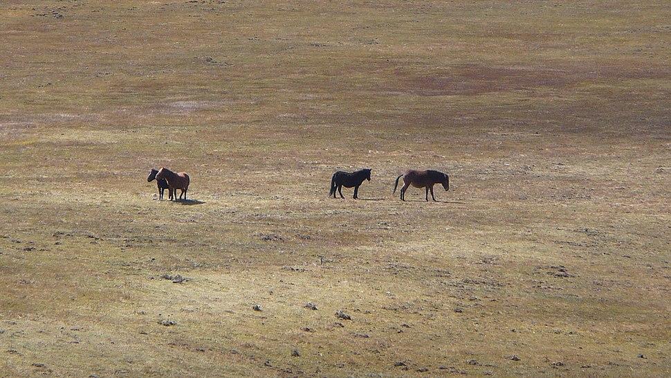 Wild horses at the Militang Pasture, Potatso (Pudacuo) National Park, Diqing - panoramio