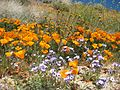 Wildflowers at California Poppy Reserve.jpg