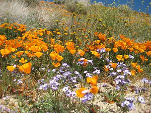Antelope Valley California Poppy Reserve - Image: Wildflowers at California Poppy Reserve