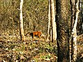Wildlife's @ Bandipur Tiger Reserve - panoramio (1).jpg
