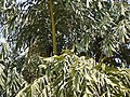 Wine Palm (5493562911).jpg