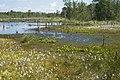 Wittmoor hamburg-Lemsahl naturschutzgebiet Eriophorum-angustifolium.jpg